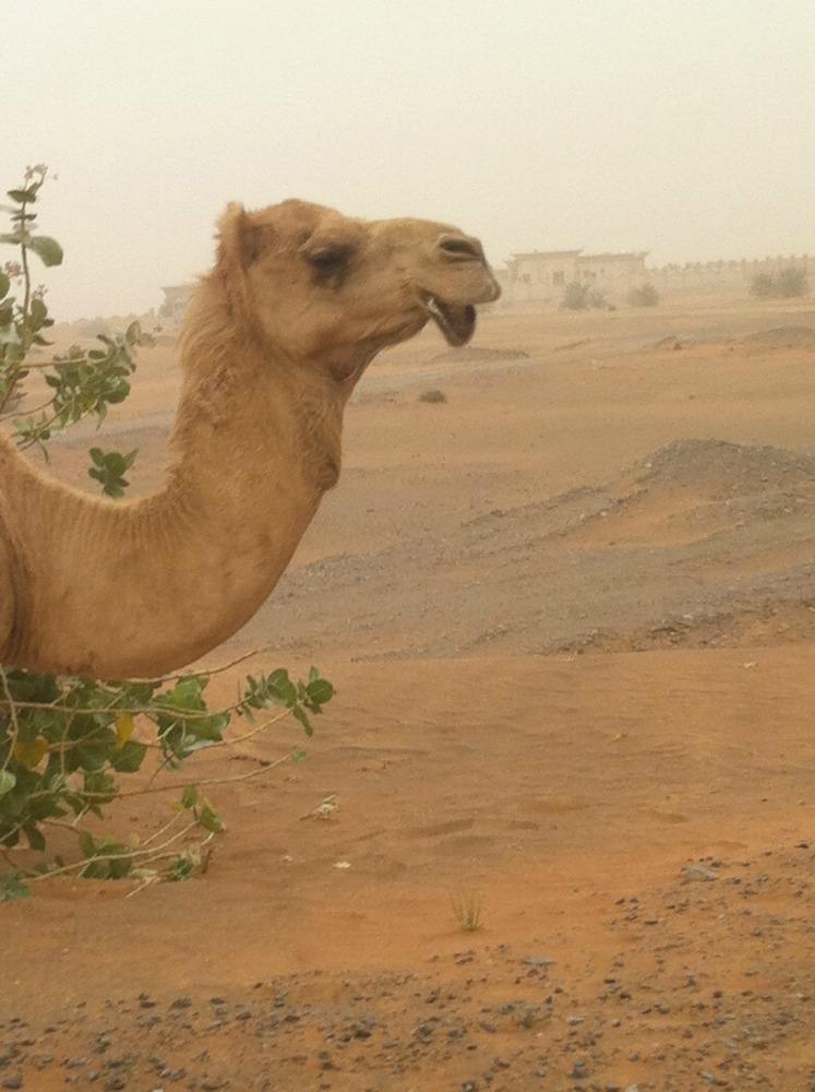 Wüste_Kamel