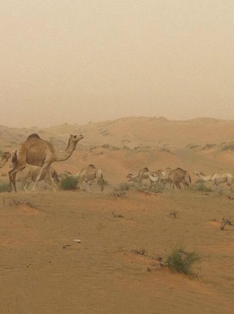 Wüste_Kamele