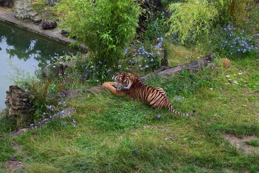 Osnabrück Zoo Tiger