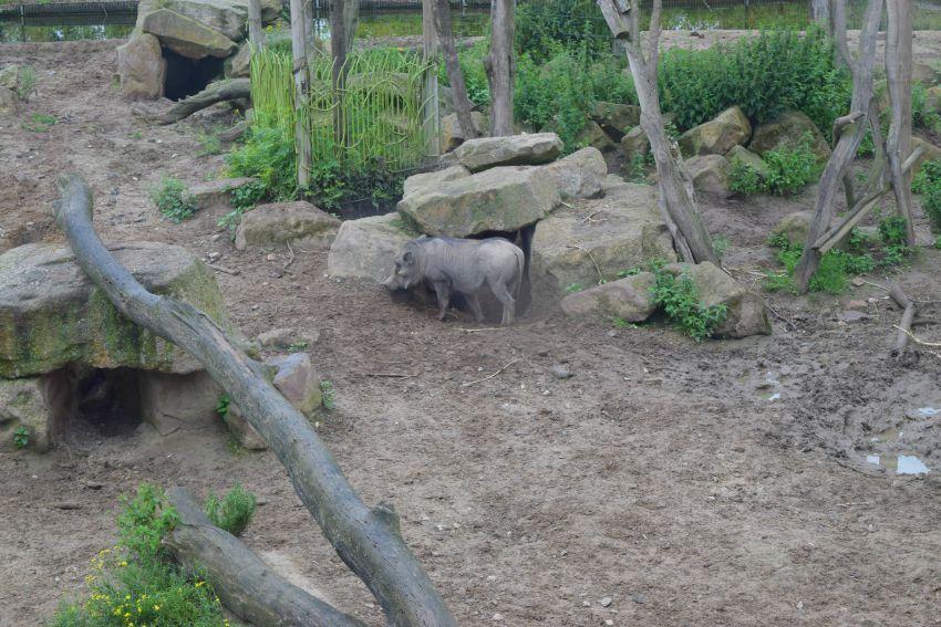 Osnabrück Zoo Warzenschwein