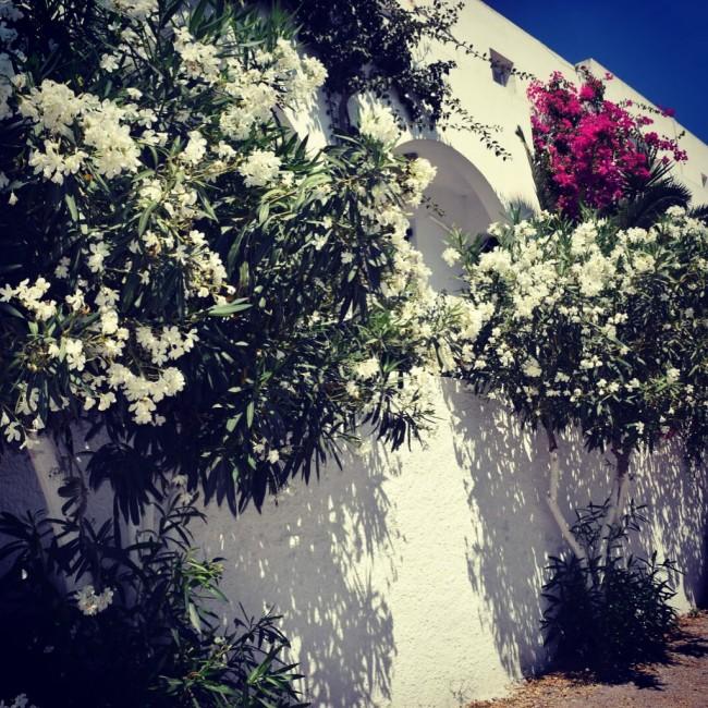 Santorini Blumen