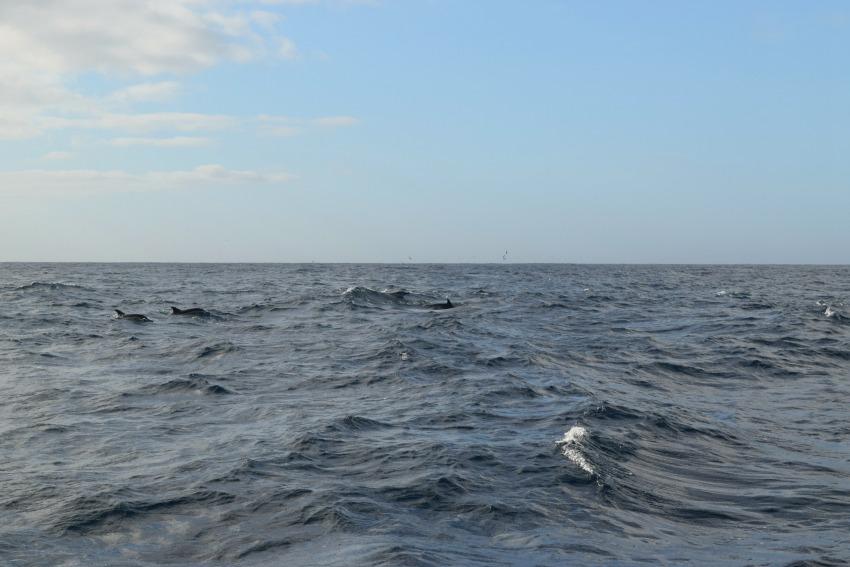 Azoren Unterwegs auf Terceira Delfine