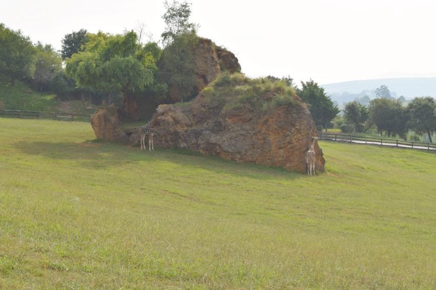 Besuch im Naturpark Cabárceno Giraffen