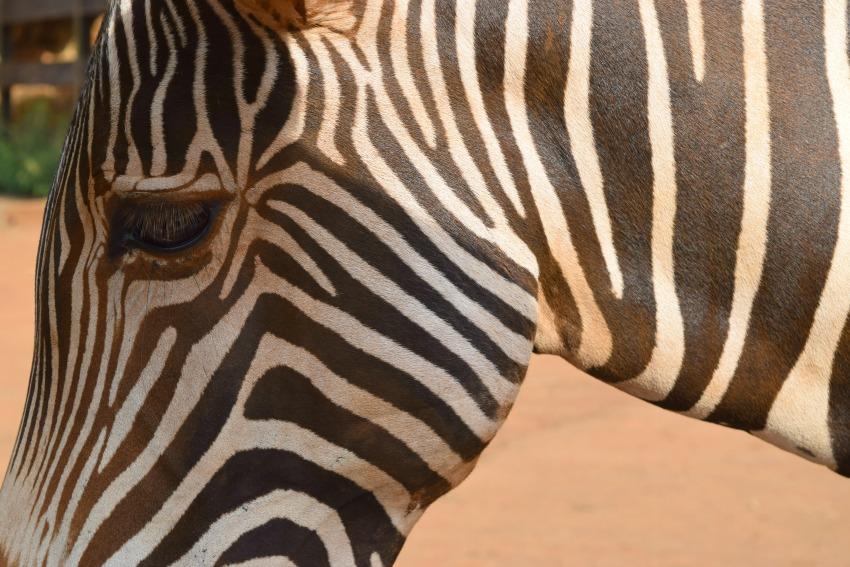 Besuch im Naturpark Cabárceno Zebra