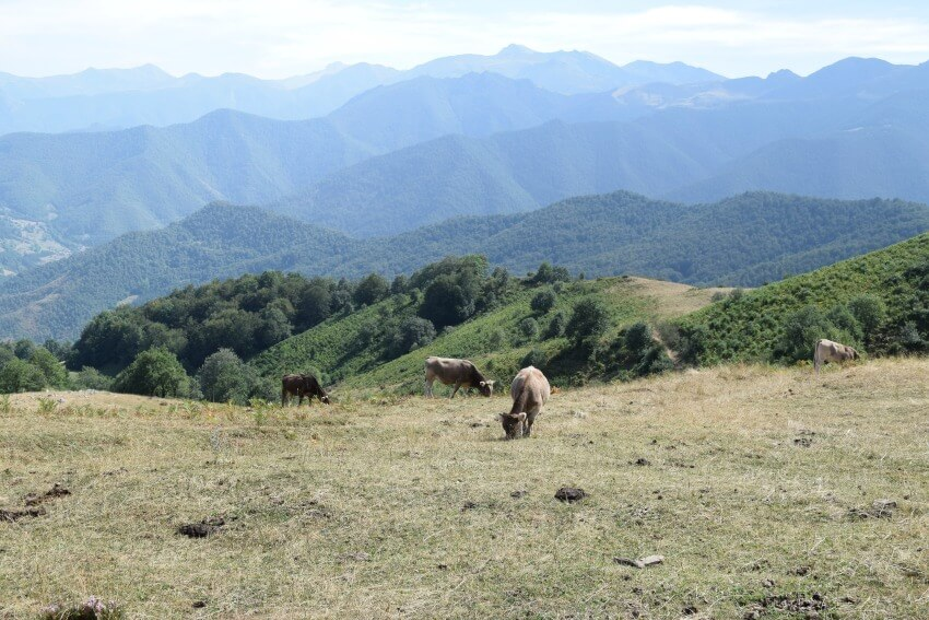 Picos de Europa - Kühe