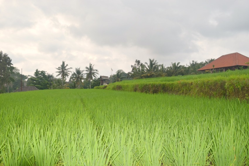 Ubud Highlights Reisfeld