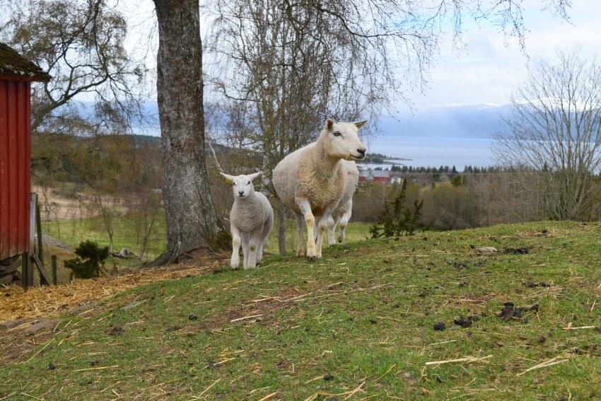 Der Goldene Umweg in Norwegen Berg Farm Schafe Wikingergrab