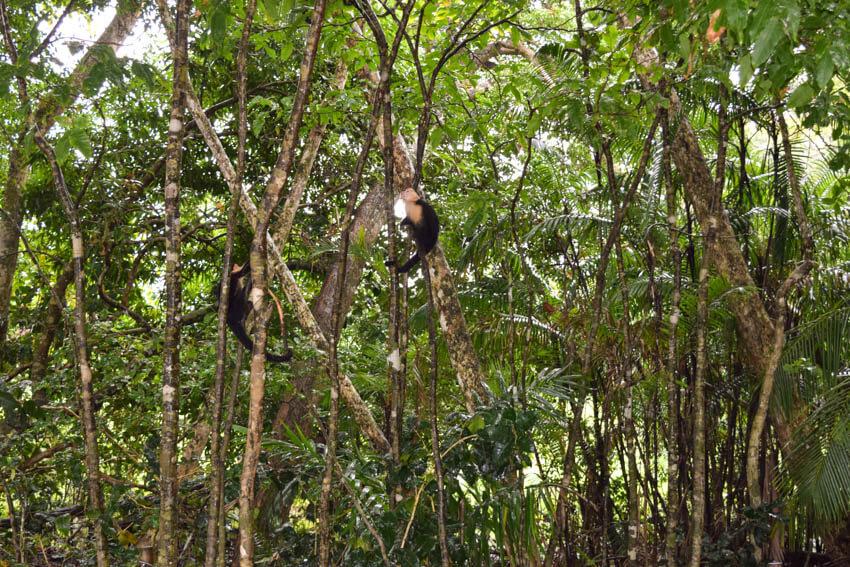 Tortuguero Nationalpark in Costa Rica Affe