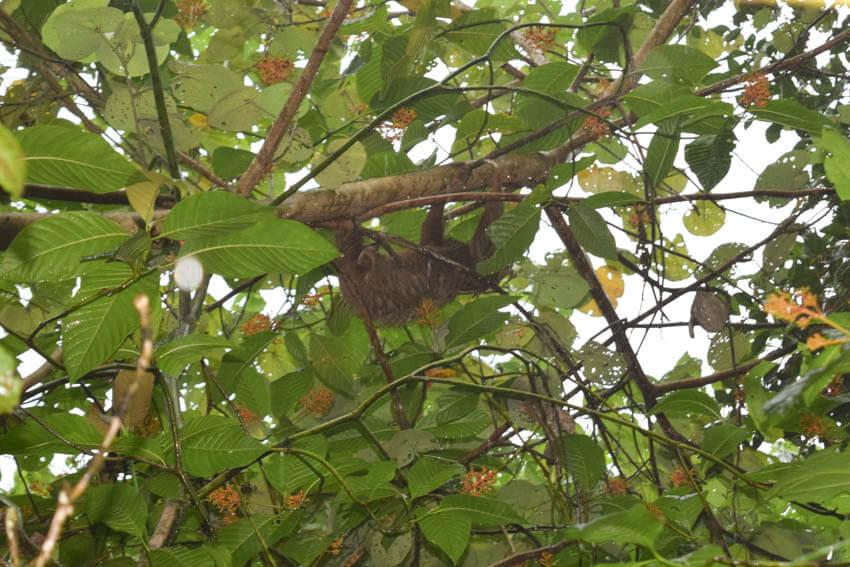 Tortuguero Nationalpark in Costa Rica Faultier
