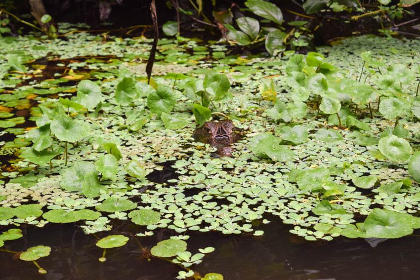 Tortuguero Nationalpark in Costa Rica Kaiman