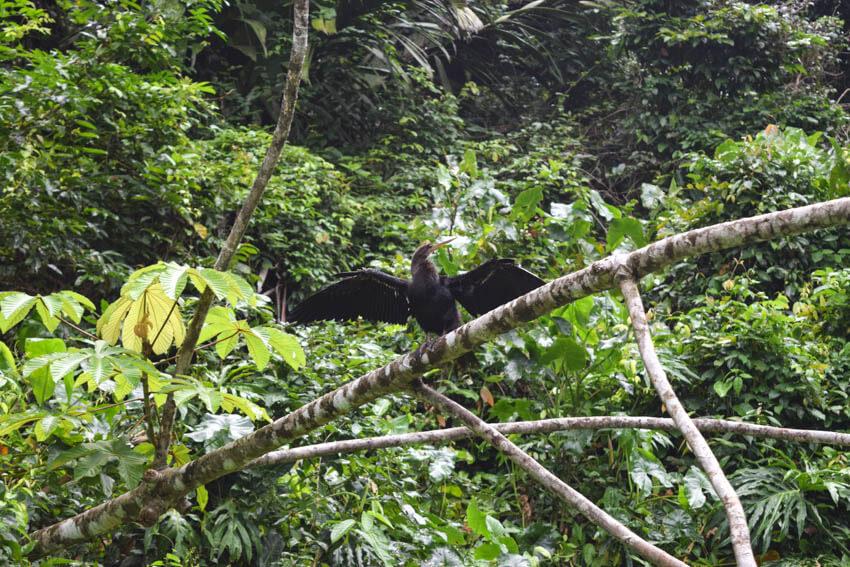 Tortuguero Nationalpark in Costa Rica Snake Bird