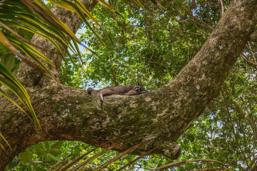 Costa Rica Cahuita Waschbär