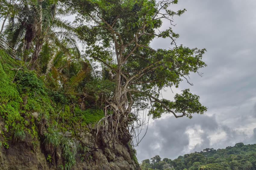 Costa Rica Roadtrip Baum auf Felsen