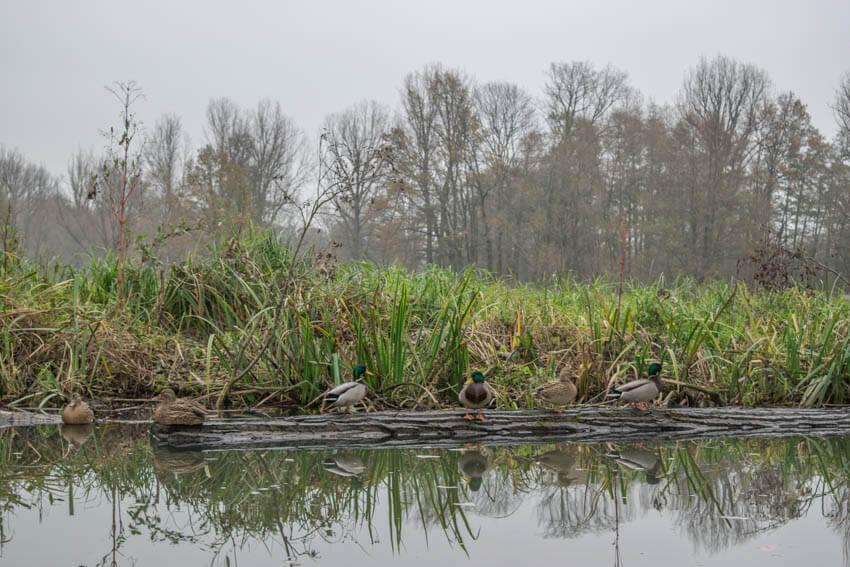Spreewald im Winter und Herbst Enten
