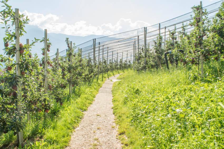 Apfelfelder